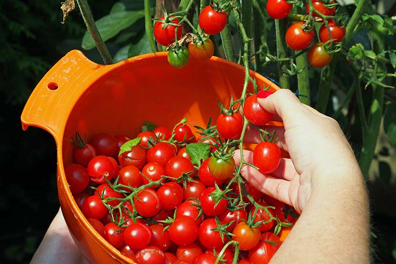 A close up of a hand from the bottom of the frame harvesting ripe cherry tomatoes into an orange plastic bowl in a garden.