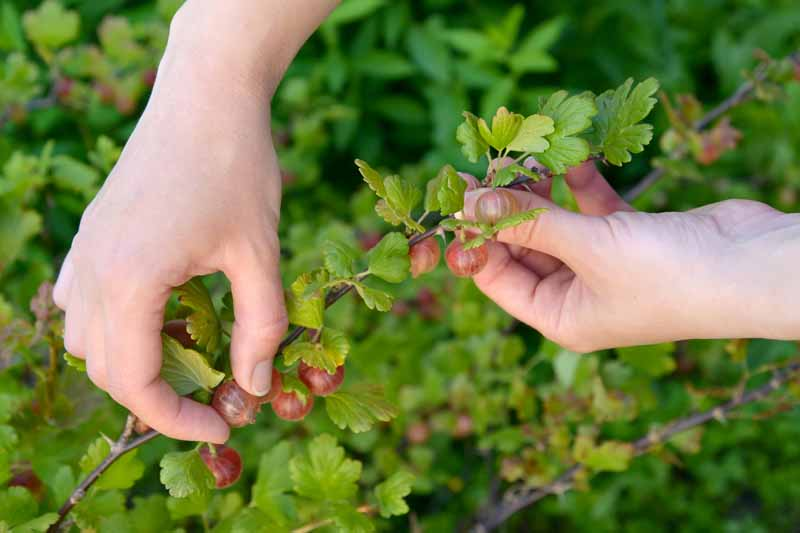A close up of two hands harvesting ripe red berries in the garden, pictured on a soft focus background.
