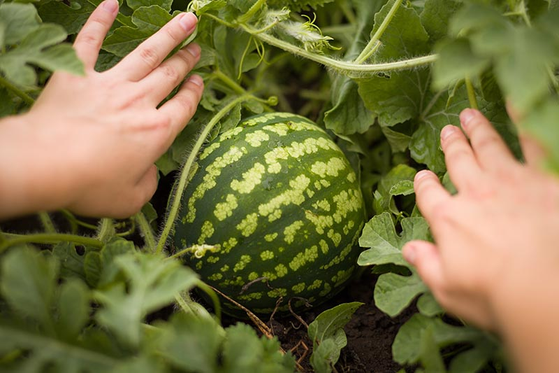 A close up horizontal image of two hands separating the foliage surrounding a light and dark green striped melon to check for ripeness, with foliage in soft focus in the background.