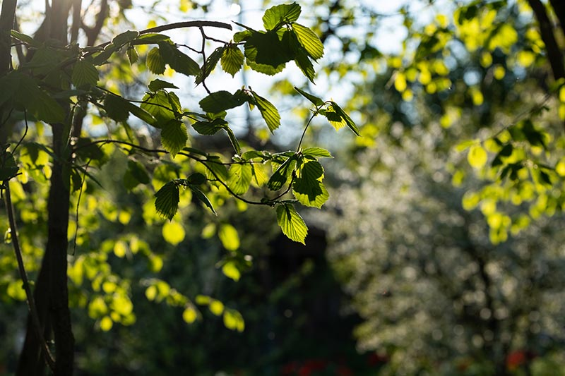 A close up horizontal image of the foliage of a Corylus avellana growing in the garden, pictured in light, filtered sunshine on a soft focus background.