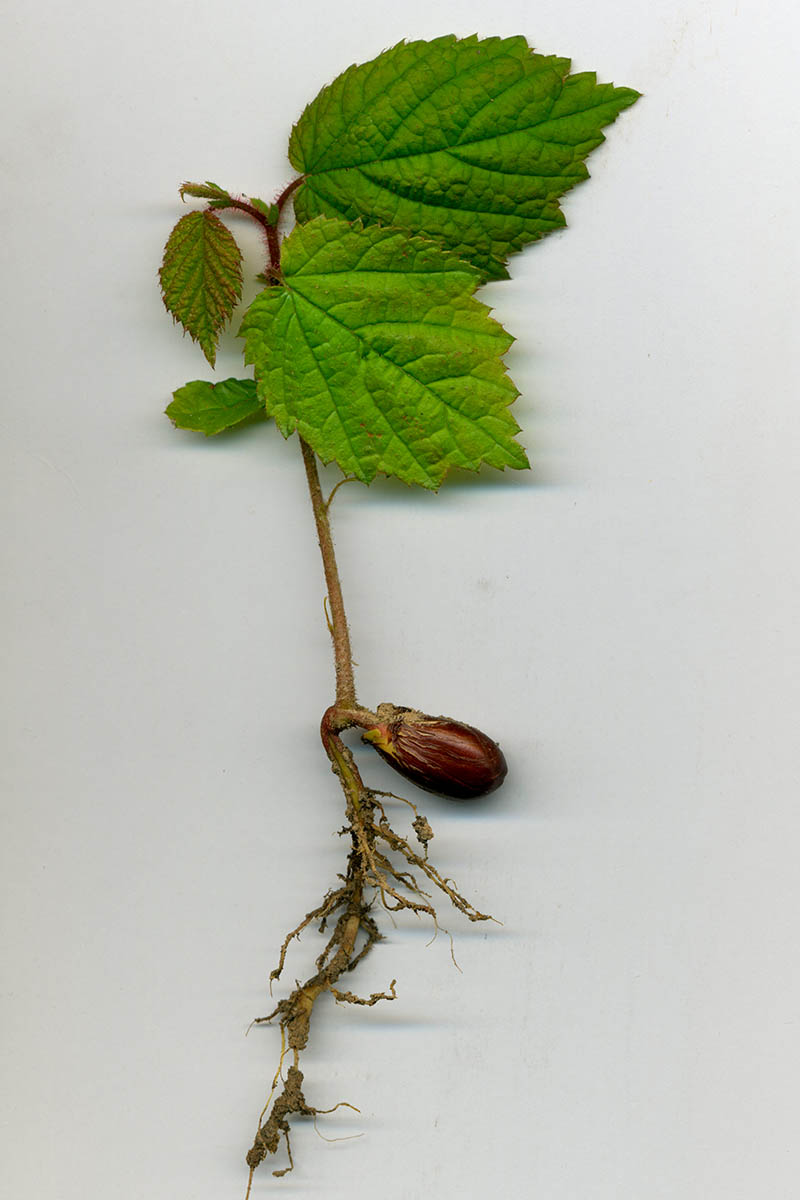 A close up, vertical picture of a runner from a hazelnut tree, dug up and placed on a white surface, showing the foliage and roots growing from the seed.