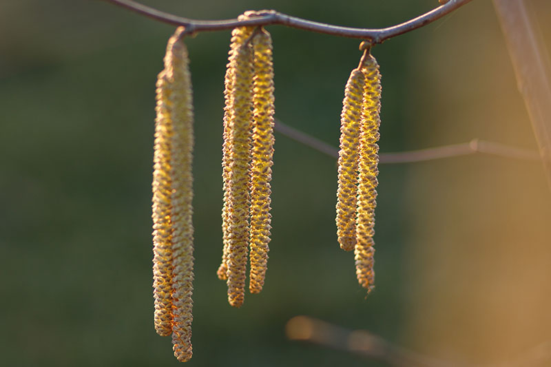 A close up horizontal image of long, yellow catkins growing from a filbert tree branch, pictured in filtered sunshine on a soft focus background.