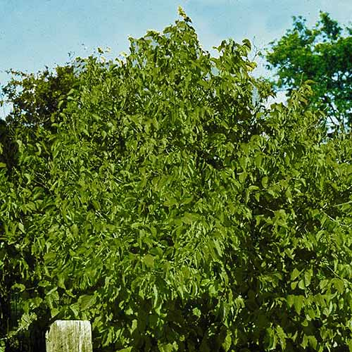 A square cropped image of a large Corylus americana growing in the garden, with bright green foliage with blue sky in the background.
