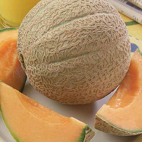 Square closely cropped image of sliced and whole 'Hearts of Gold' muskmelon with tan netting and subtle sutures.