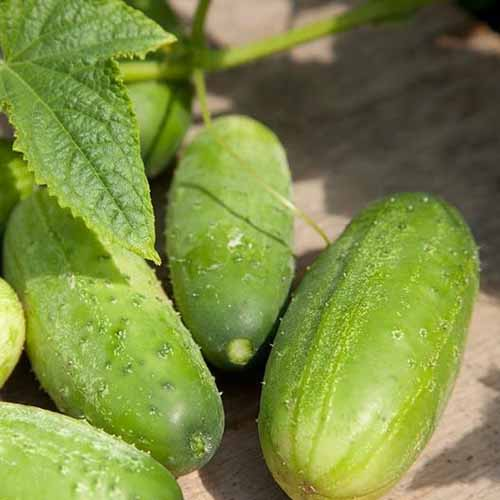 A close up of Cucumis sativus 'Homemade Pickles' set on a wooden surface, pictured in bright sunshine with foliage in the background.