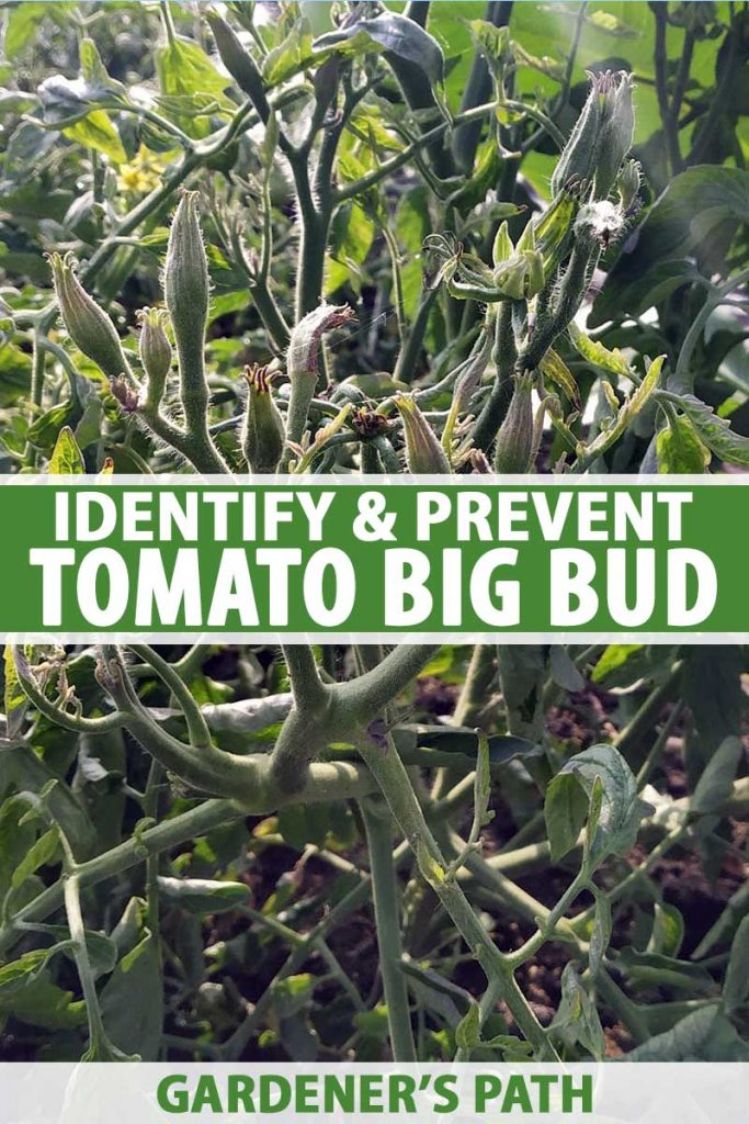 A close up of a plant suffering from big bud tomato disease, an incurable condition caused by a phytoplasma that causes enlarged, disfigured flower buds. To the center and bottom of the frame is green and white text.