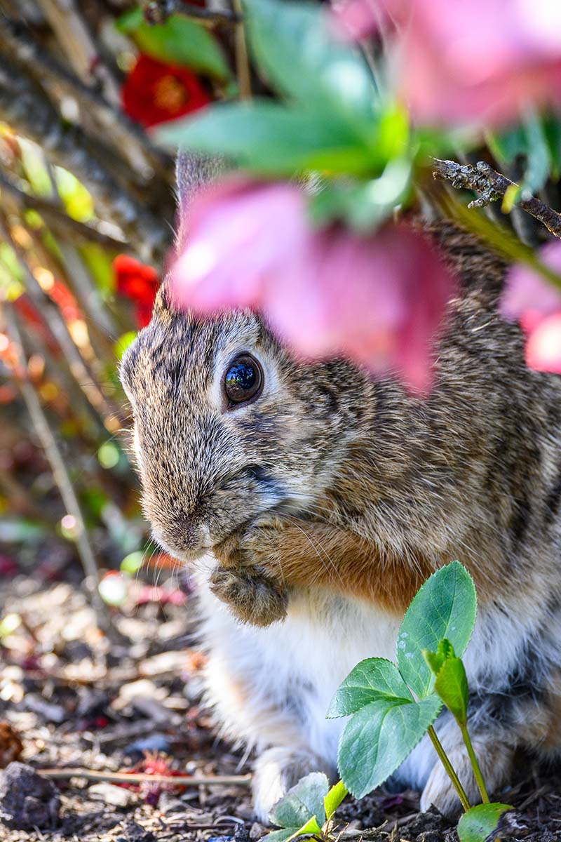 A vertical close up picture of a rabbit eating plants in the garden, pictured in light sunshine with pink flowers in soft focus to the right of the frame.