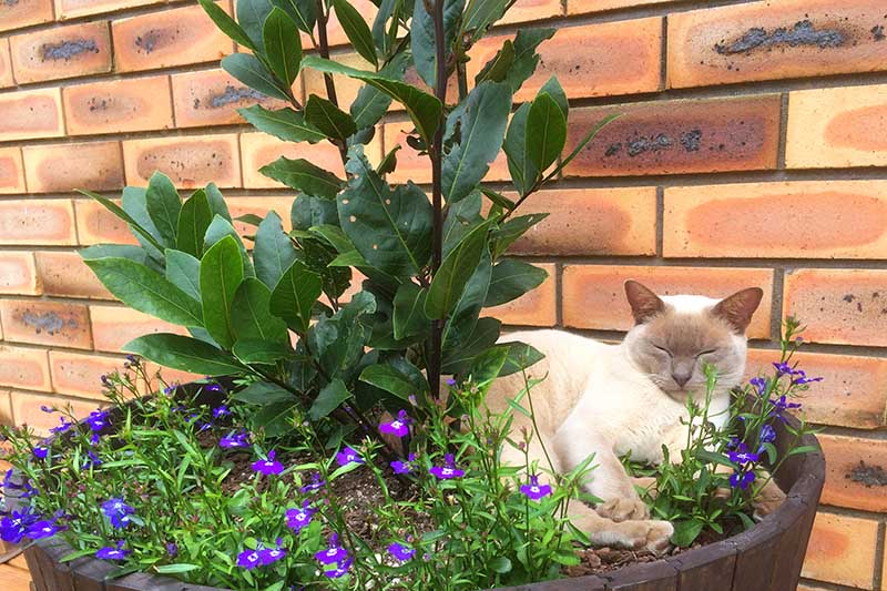 A close up of a bay laurel tree growing in a whiskey barrel container, surrounded by small purple flowers and a lilac Burmese cat sitting beside it. The pot is situated by a brick wall in the background.