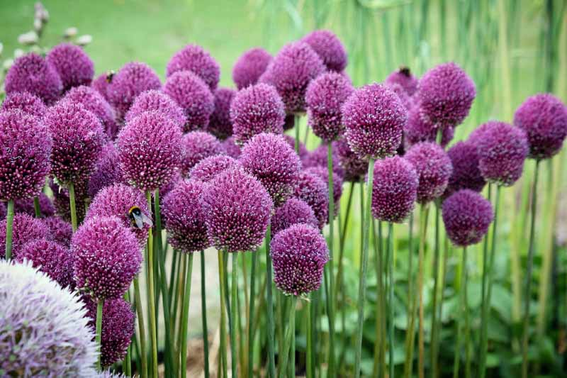 Allium sphaerocephalon growing in the garden with purple flowers atop upright stems, pictured on a soft focus background.