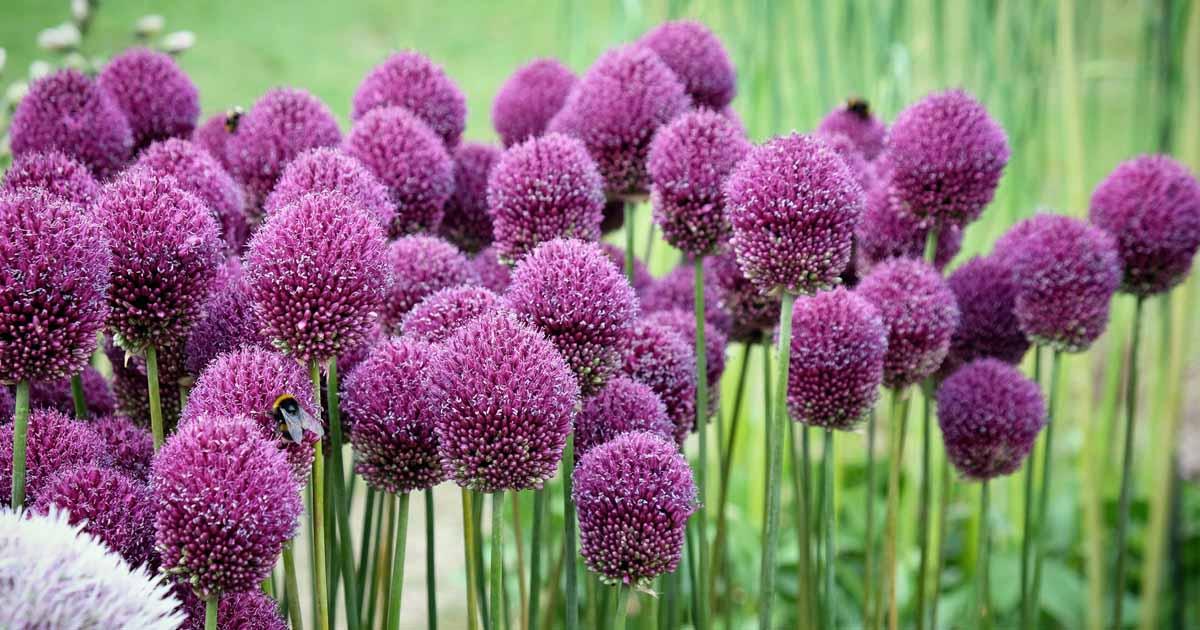 Allium Summer flower