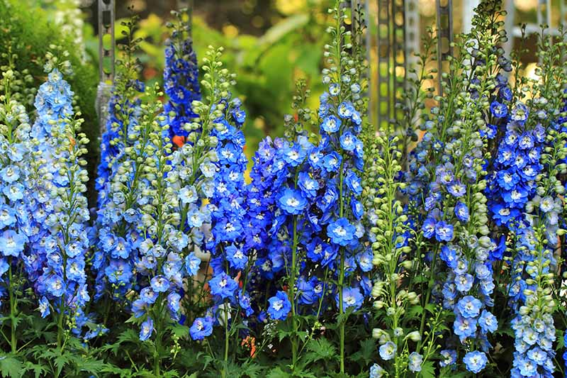 A close up of a mass planting of delphiniums in various shades of blue, with upright flowers, pictured on a soft focus background.