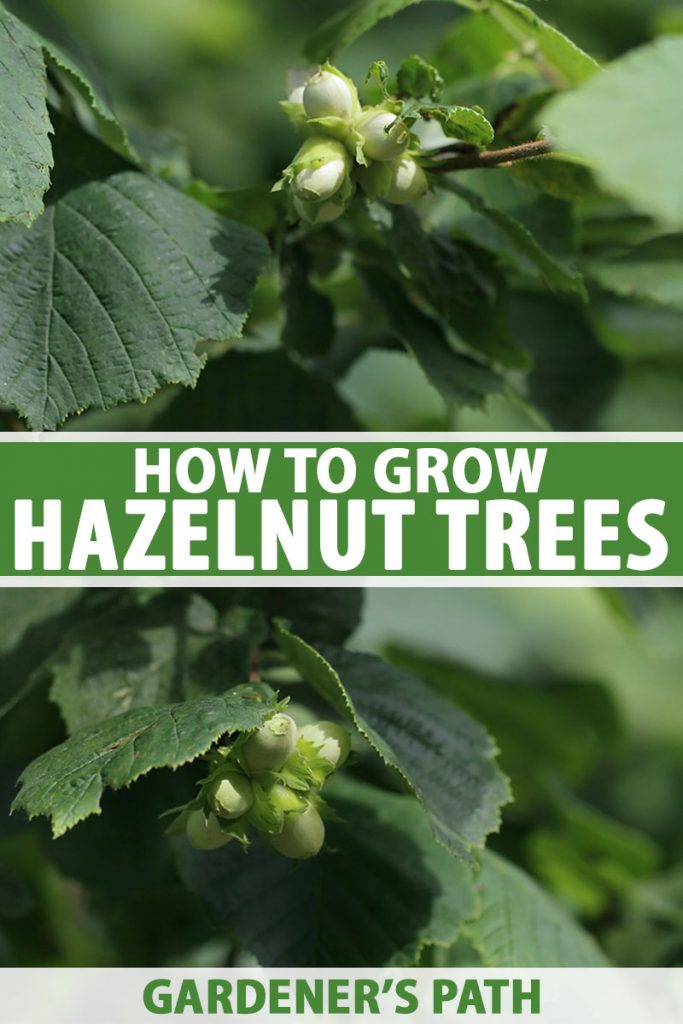 A vertical close up picture of a hazelnut tree growing in the garden with bright green foliage and small, developing nuts, with foliage in soft focus in the background. To the center and bottom of the frame is green and white printed text.