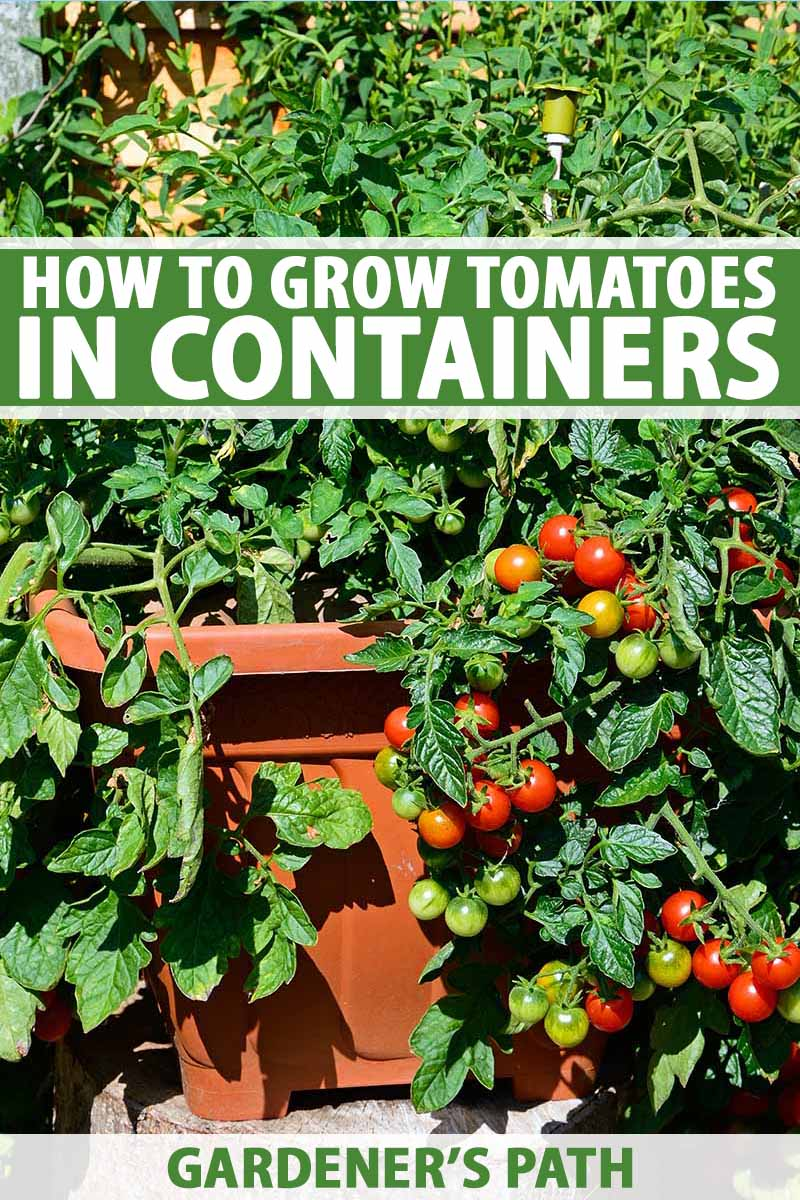 A vertical picture of a large, healthy tomato plant with red ripe fruits growing in a terra cotta container in bright sunshine on the patio. To the top and bottom of the frame is green and white text.