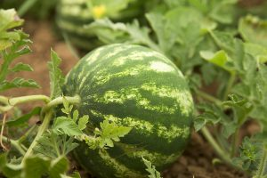 The Taste of Summer: How to Plant and Grow Watermelons
