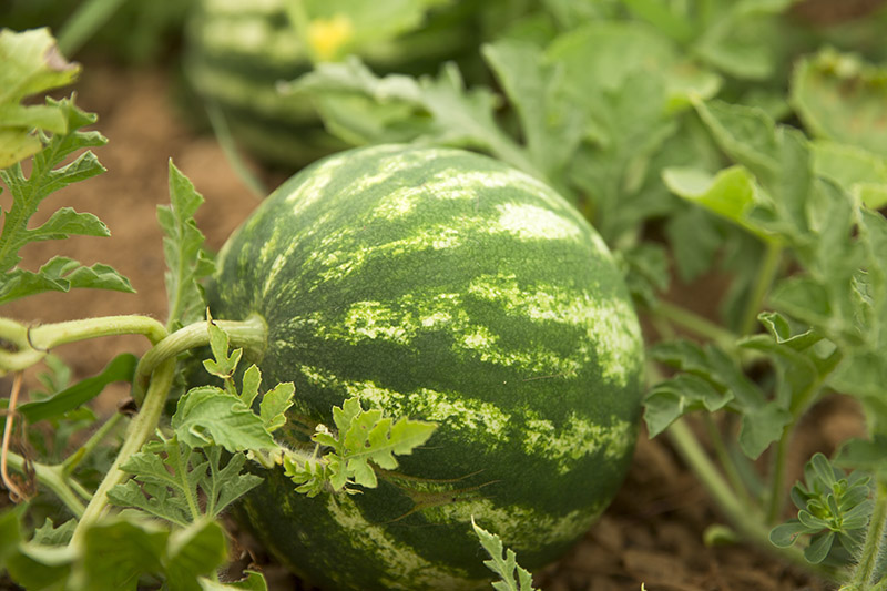 A close up of a ripe watermelon growing in the garden, almost ready to harvest, with dark green, mottled skin, surrounded by foliage in soft focus.