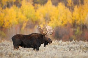 How to Keep Moose Out of Your Garden and Orchard