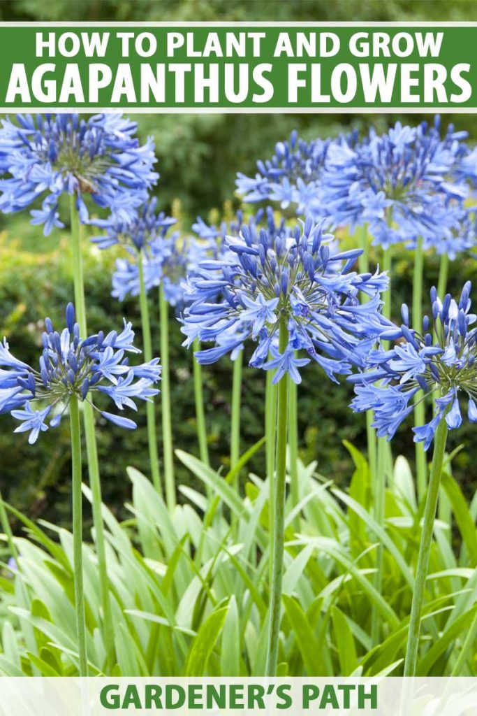 A vertical close up picture of bright blue agapanthus flowers growing in the garden, pictured on a soft focus background. To the top and bottom of the frame is green and white printed text.