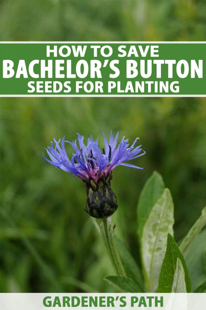 A vertical close up image of a lilac cornflower growing in the garden pictured on a green soft focus background. To the top and bottom of the frame is green and white text.