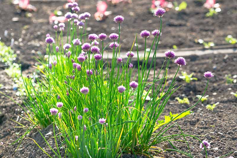 A close up of a clump of Allium schoenoprasum growing in the summer garden, pictured in bright sunshine, with green stalks and light purple flowers on a soft focus background.