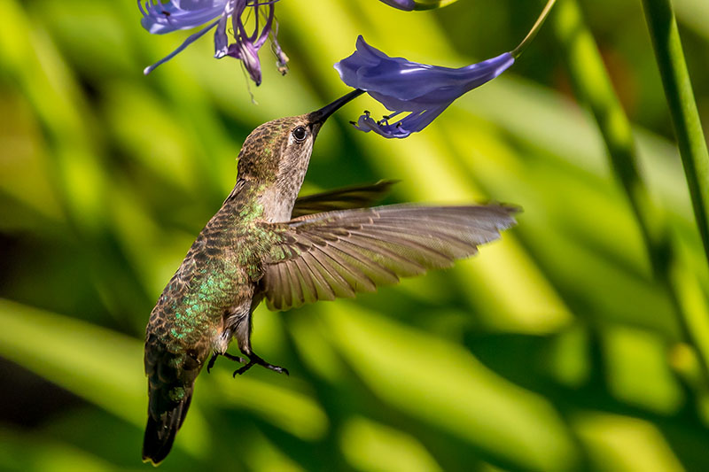 A close up of a hummingbird feeding from a small light blue flower, pictured on a green soft focus background.
