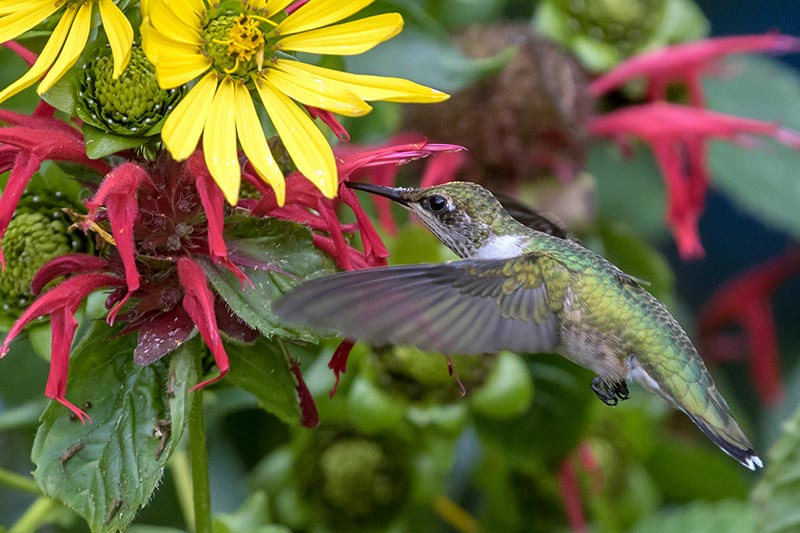 A close up of a hummingbird feeding from a red flower with a yellow flower to the top of the frame, pictured on a soft focus background.