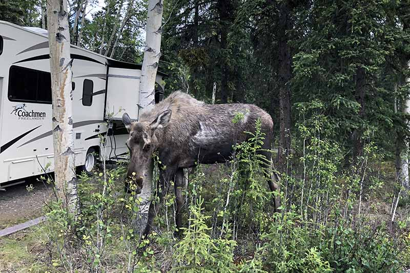 A close up of a young moose grazing in amongst trees with a white RV in the background.