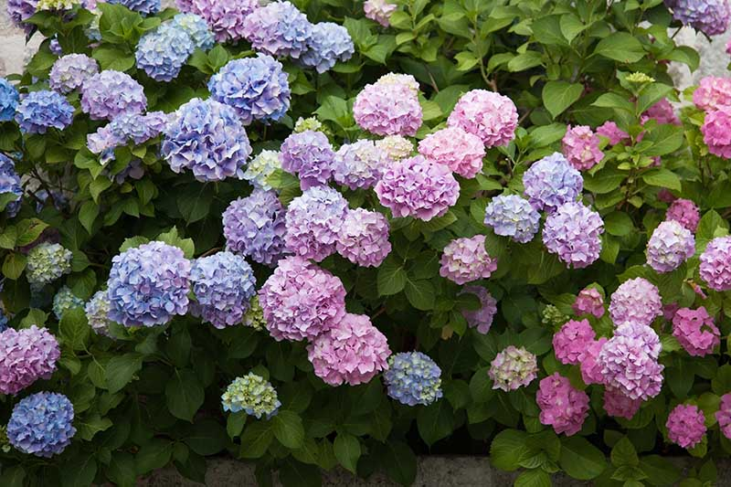 A close up of blue and pink hydrangeas blooming in the summer garden, surrounded by foliage.
