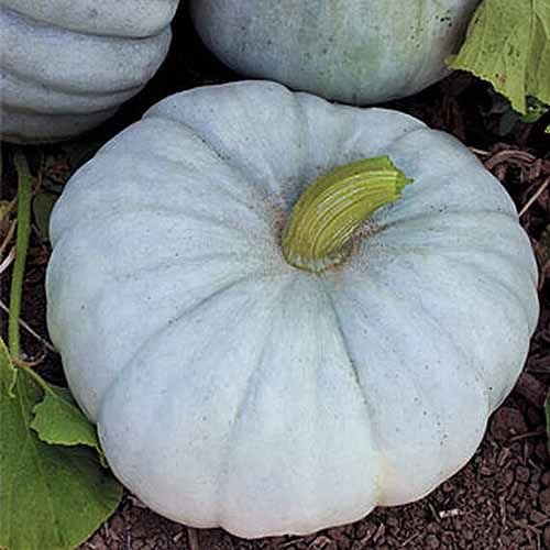 A close up of a 'Jarrahdale' squash with light colored skin set on the ground in the garden.