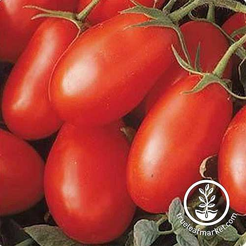 A close up of bright red, freshly harvested, ripe tomatoes with the vine still attached, pictured on a soft focus background. To the bottom right of the frame is a white circular logo with text.