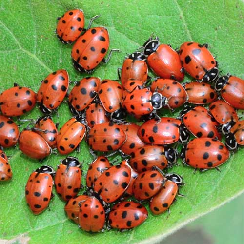 A close up of red and black ladybugs on a green leaf.