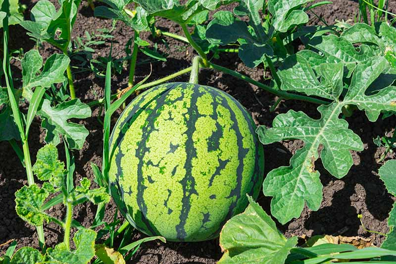 A close up of a ripening watermelon on the vine, with dark rich soil in the background, pictured in bright sunshine, surrounded by foliage.
