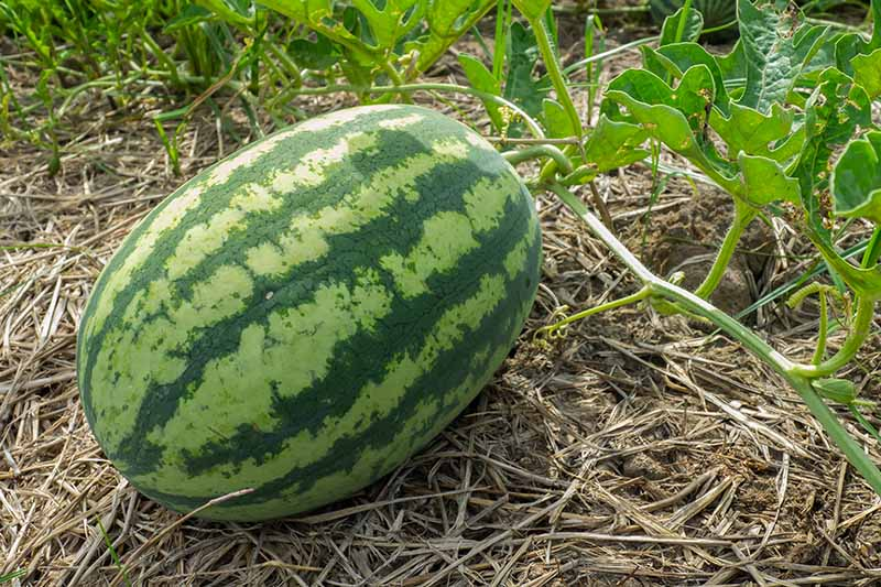 A horizontal image of a large watermelon developing on the vine, surrounded by straw mulch, with foliage in soft focus in the background.