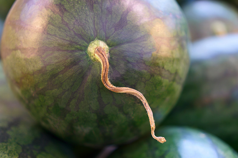 A close up horizontal image of a ripe watermelon with a little piece of dried stem still attached, pictured on a soft focus background.