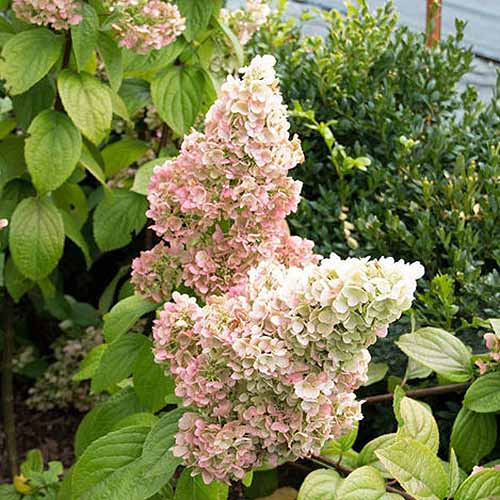 A close up square image of a 'Lavalamp Moonrock' hydrangea flowering in the summer garden, surrounded by foliage.