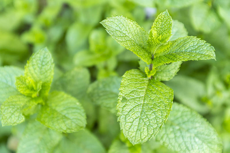 A close up of the green leaves of Mentha spicata, growing in the garden, pictured on a soft focus background.