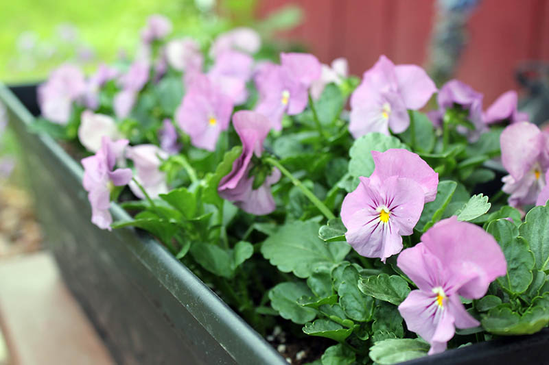 A close up of a rectangular plastic planter containing 'Lilac Ice' violas, light pink flowers, pictured on a soft focus background.