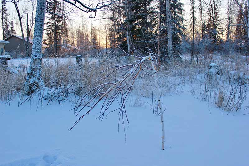 A snowy garden scene with a small birch tree damaged by moose, pictured in the evening sunshine in winter, with snow on the ground.