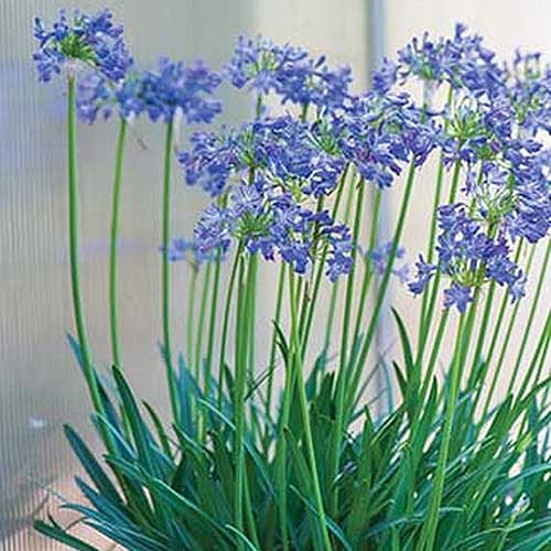 A close up square image of 'Little Galaxy' Agapanthus growing in a container in front of a window.