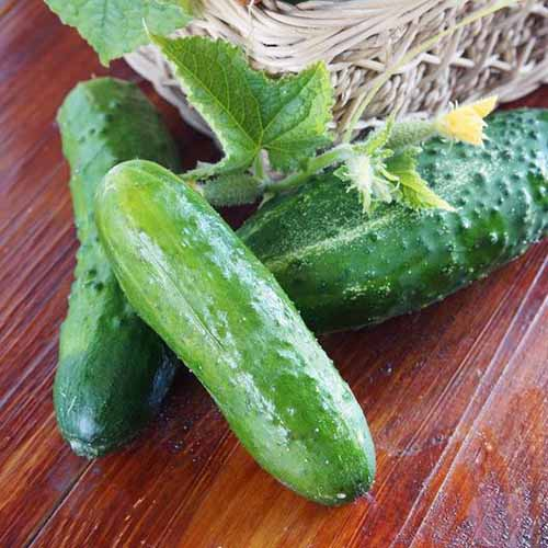 A close up of three freshly harvested Cucumis sativus 'Marketmore 76' set on a wooden surface.