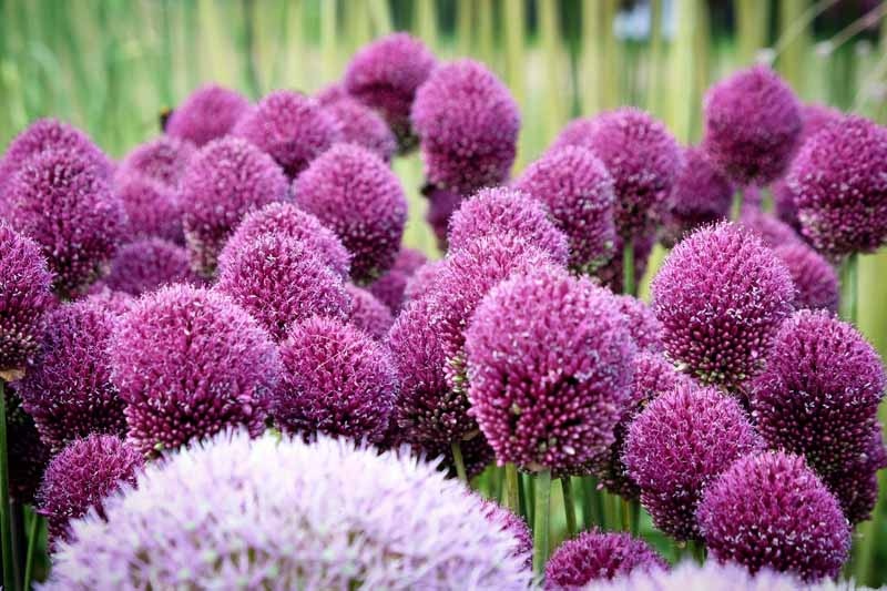 A close up of a mass planting of drumstick allium flowers with deep purple blooms on a soft focus background.