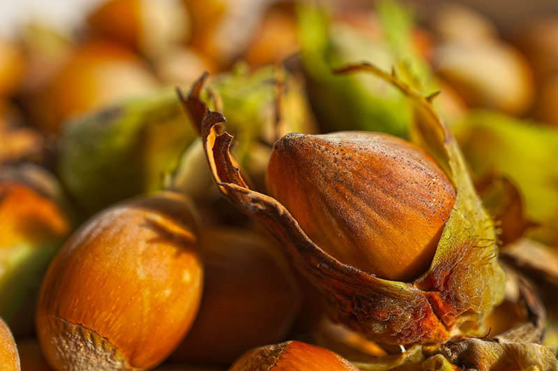 A close up horizontal image of freshly harvested cobnuts in the husks, pictured in light filtered sunshine on a soft focus background.