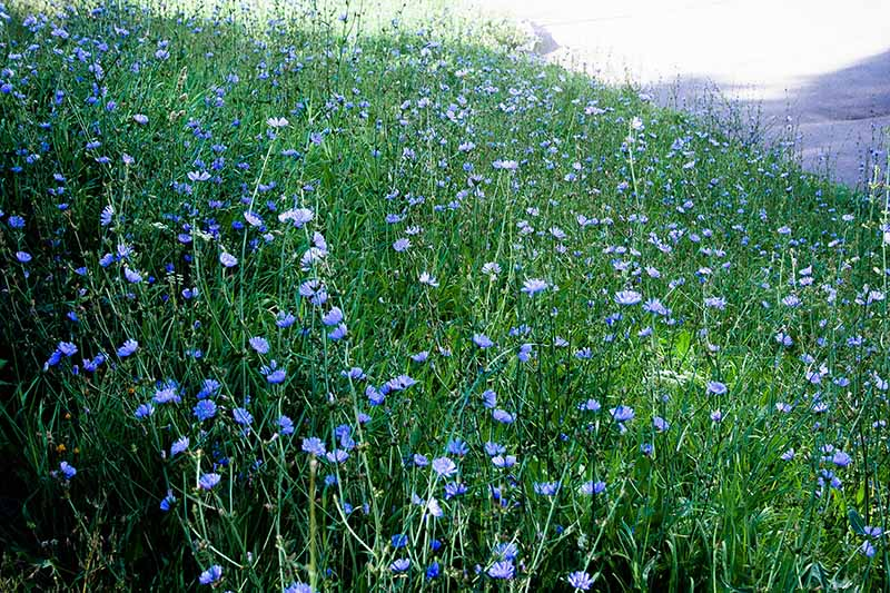 A hillside meadow filled with light blue Cichorium intybus flowers growing wild.
