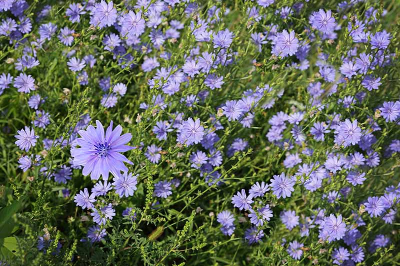 A close up of a field with Cichorium intybus growing wild, pictured in bright sunshine.