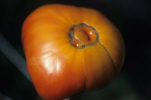 How to Identify and Prevent Catfacing of Tomatoes