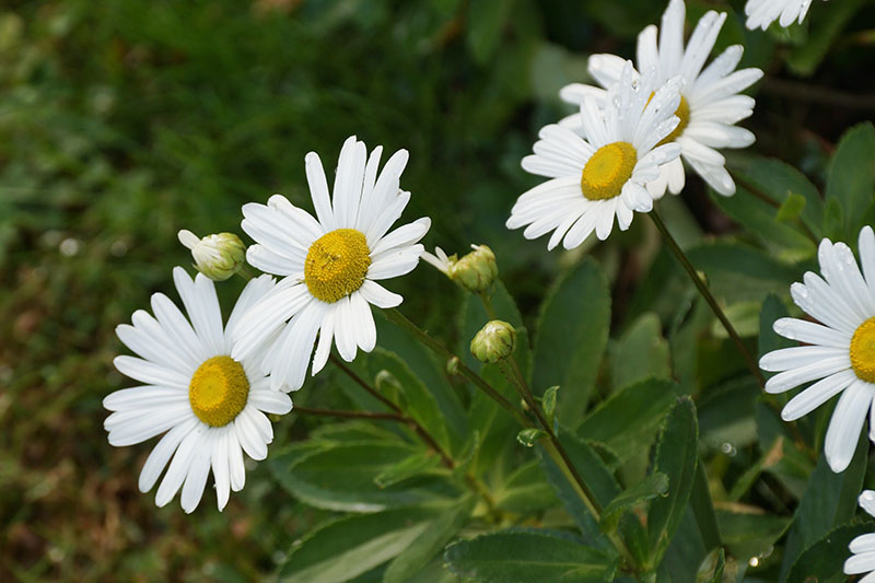 A close up of white montauk daisies with yellow centers growing in the garden, with foliage in soft focus in the background.