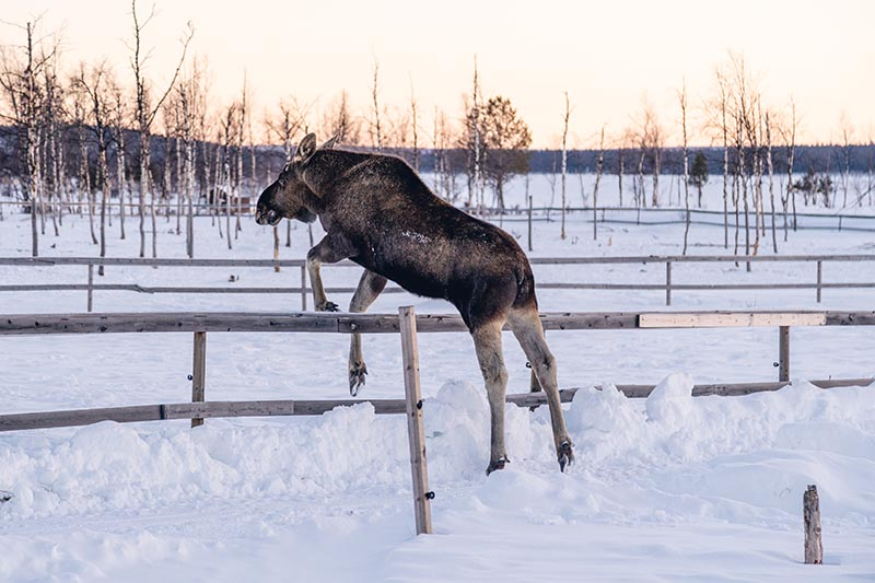 A moose jumping over a wooden fence in a snowy landscape in soft evening light.