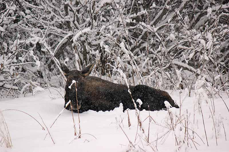 A close up of a large moose lying down in the snow in a backyard in Alaska.