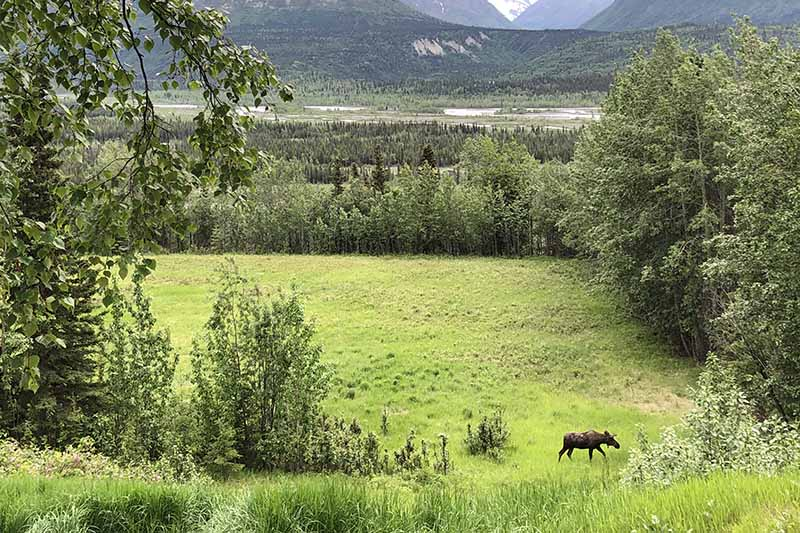 An Alaskan scene of open space, trees, and mountains in the background, with a moose grazing on the grass.