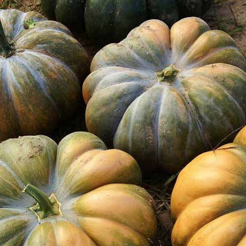 A close up of a pile of 'Musquee De Provence' squash with deeply ribbed skin on a soft focus background.