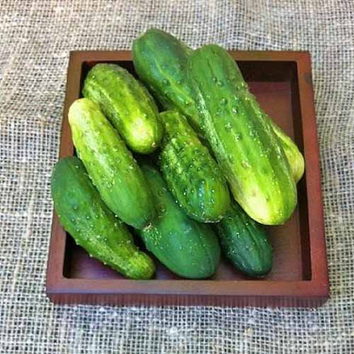 A close up of a pile of Cucumis sativus 'National Pickling' set on a wooden tray.